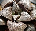 특)자진전(紫振殿) 대묘 하월시아 142|haworthia