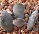 방울복랑금(2잎금)|Cotyledon orbiculata cv variegated