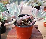 오팔리나 1G 46 수팜 다육 다육이 다육식물|Graptoveria Opalina