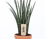 스키니 스투키 다육식물 신품종|Sansevieria Stuckyi
