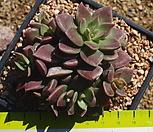 1014 인디카|Sinocrassula indica
