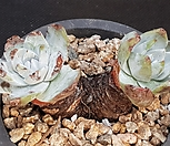 환엽블러프레쳐스군생뿌리무1014-17 Dudleya farinosa Bluff Lettuce