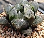마왕(魔王)  옵투사 중묘Haworthia cooperi var. dielsiana|Haworthia cooperi var. dielsiana