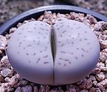 반질리대형|Conophytum vanzylii