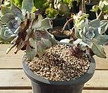 환엽블러프레쳐스33 3두 Dudleya farinosa Bluff Lettuce