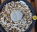 반질리|Conophytum vanzylii