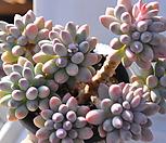 베이비핑거1014-28 묵은한몸자연군생 Pachyphytum Machucae (baby finger)