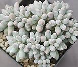 베이비핑거190 Pachyphytum Machucae (baby finger)