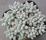 베이비핑거194 Pachyphytum Machucae (baby finger)