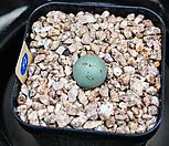 칼큘러스반질리 72|Conophytum vanzylii