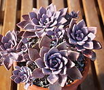 데비|Graptoveria Debbie