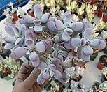 방울복랑 1017|Cotyledon orbiculata cv