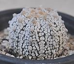 astrophytum  asterias, cv,superkabuto    슈퍼투구|