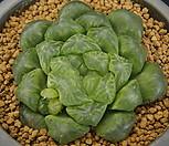 대형 옵투샤_m186|Haworthia cymbiformis var. obtusa