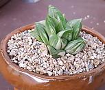 옵투사금|Haworthia cymbiformis var. obtusa