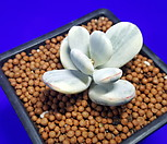 방울복랑금(수박금~대형종)|Cotyledon orbiculata cv