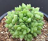 옵투사|Haworthia cymbiformis var. obtusa
