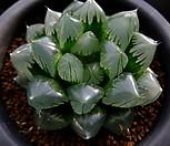 옵투사 수정(水晶) 소묘 (Haworthia obtusa Suisho, offset)|Haworthia cymbiformis var. obtusa