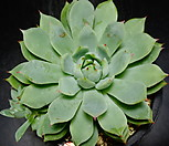 티피교배종9 Echeveria Tippy
