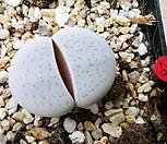 반질리10181|Conophytum vanzylii