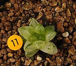 옵투샤금(10-11)|Haworthia cymbiformis var. obtusa