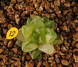 옵투샤금(10-12)|Haworthia cymbiformis var. obtusa