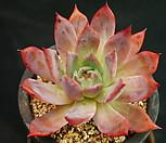 콜로라타브랜티(묵은둥이)J18-5|Echeveria Colorata fma Brandtii