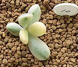 방울복랑금 커팅 (10) 뿌리없어요|Cotyledon orbiculata cv variegated