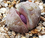 자제옥70|Pleiospilos nelii Royal Flush