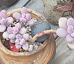 아메치스자연군생|Graptopetalum amethystinum
