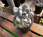 홍미인 묵은둥이|Pachyphytum ovefeum cv. momobijin