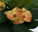 왕꽃 꽃기린  [꽃이 계속해서피고지고합니다 ] 2|