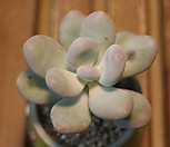 홍미인|Pachyphytum ovefeum cv. momobijin
