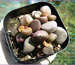리틀스페로이드1019|Echeveria minima hyb Roid