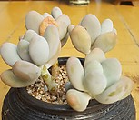 홍미인두몸합식|Pachyphytum ovefeum cv. momobijin