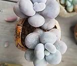 염미인두몸|Pachyphytum oviferum