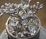 방울복랑(1010)|Cotyledon orbiculata cv