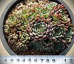 대)로이드묵은목대군생 351|Echeveria minima hyb Roid