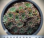 대)로이드묵은목대군생 353|Echeveria minima hyb Roid
