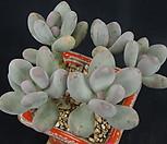 염미인_p50|Pachyphytum oviferum