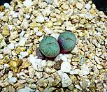 코노피튬특이종89|Conophytum