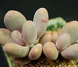 홍미인(묵은둥이)J19-34|Pachyphytum ovefeum cv. momobijin