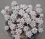 블루빈스 1-1581|Graptopetalum pachyphyllum Bluebean