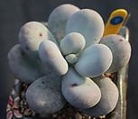 염미인 091019|Pachyphytum oviferum