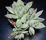 콜로라타브랜티hy74|Echeveria Colorata fma Brandtii