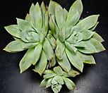 콜로라타브랜티hy75|Echeveria Colorata fma Brandtii