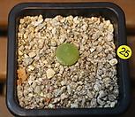 부르게리(25)|Conophytum burgeri