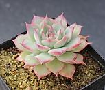 핑크팁스 A5439|Echeveria Pink Tips