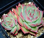 핑크팁스9|Echeveria Pink Tips