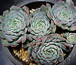 로이드59|Echeveria minima hyb Roid